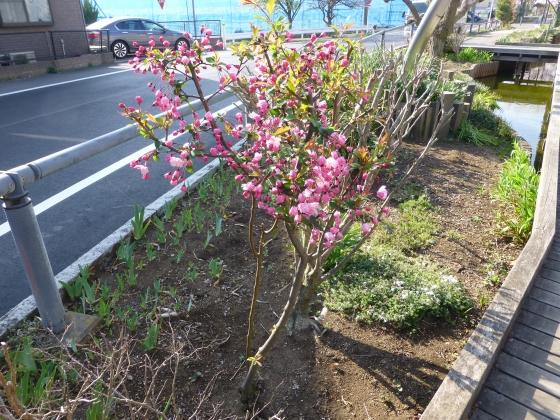 SAKURA2015江川せせらぎ遊歩道16