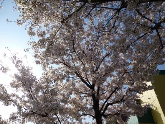 SAKURA2015江川せせらぎ遊歩道22