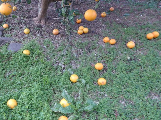 果実が寒風害で落果した