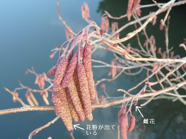 ハンノキの花