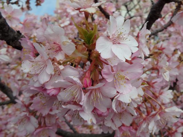 早咲きのサクラが満開