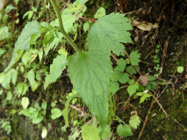 ホタルブクロの葉