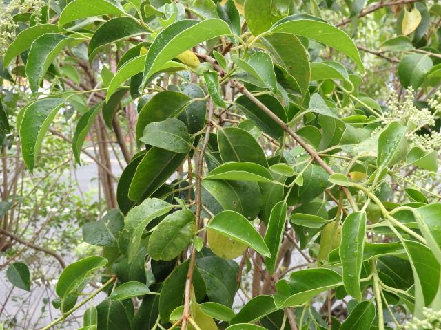 トウネズミモチの葉