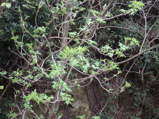 ハリギリの木