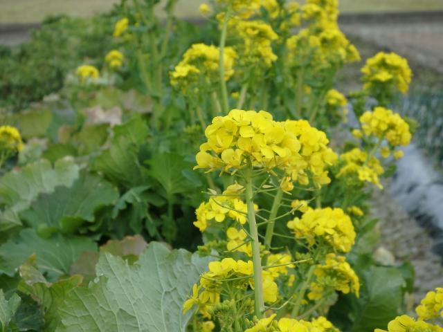 平地はポカポカ陽気で、菜の花が満開