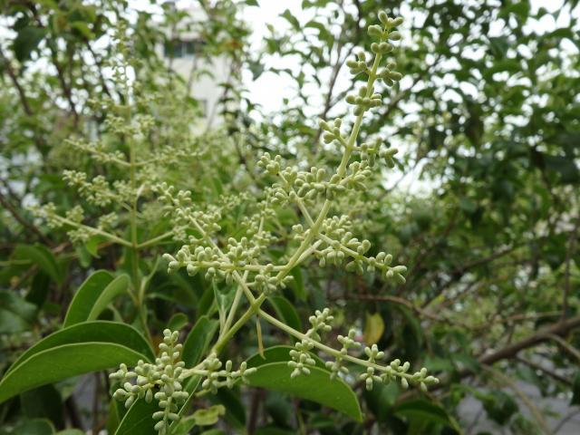 トウネズミモチの花 (まだ蕾)
