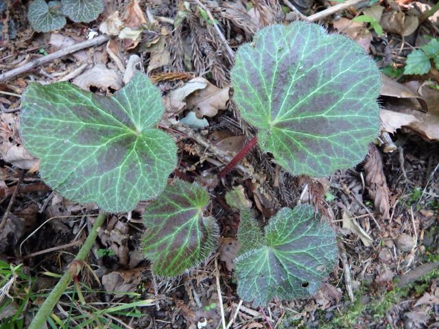 ユキノシタの葉