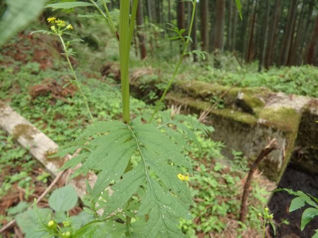 サワギクの葉