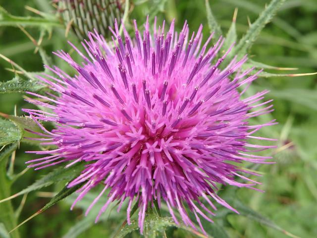 ノアザミの頭花
