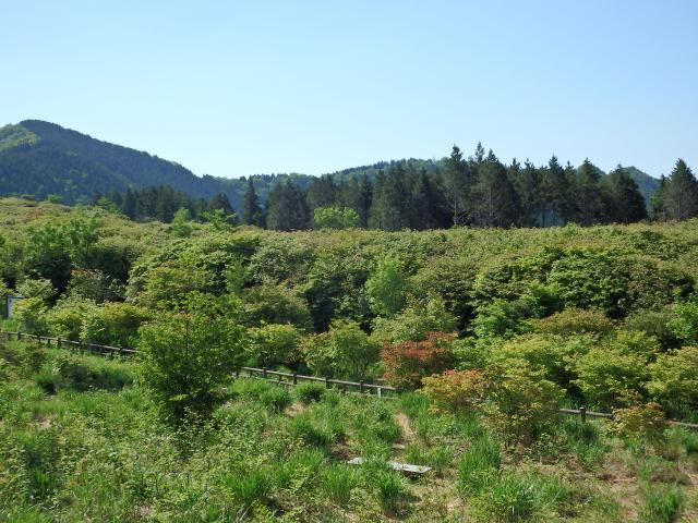 船窪オンツツジ公園は、葉桜ならぬ葉つつじだ!