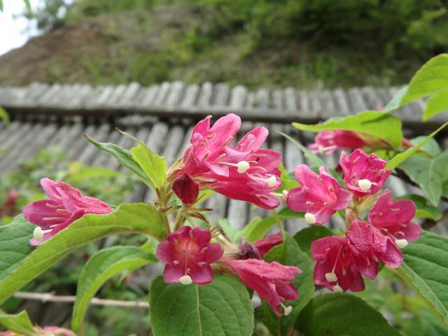 ヤブウツギの花