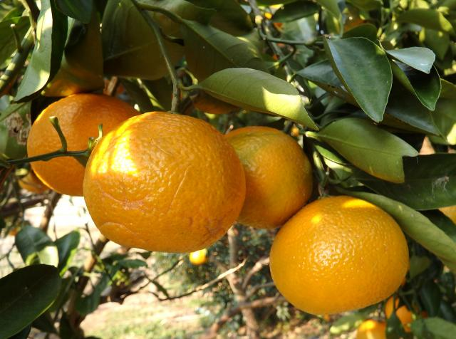 果実の拡大