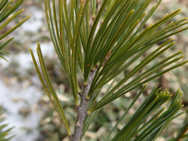 葉はごく短い枝に5枚着く
