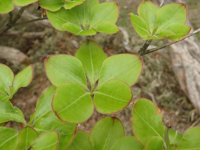 葉は枝先に5枚輪生する