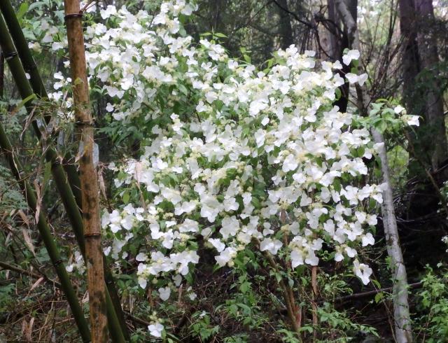 コガクウツギの見事な花