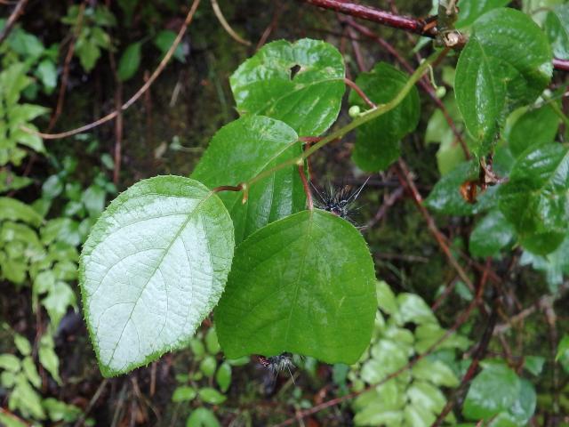 マタタビの葉は、葉の展葉と同時に白化するみたい