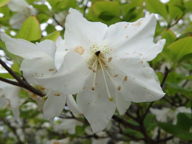 花冠は5裂して、裂片の先端はやや尖っている