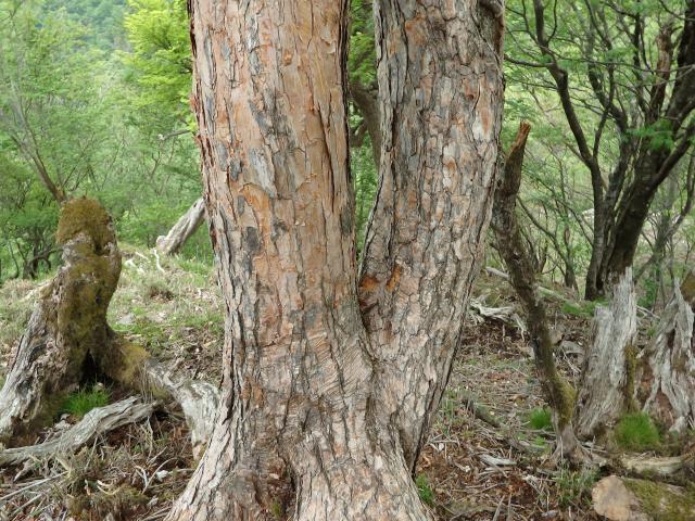幹の径は20センチ以上になりツツジ属では大木