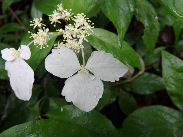 装飾花 (飾り花) を良く見れば白化した葉だ