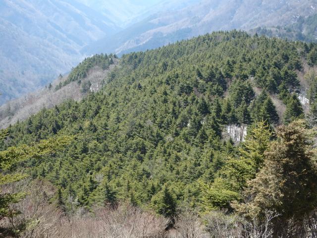 ウラジロモミとツガの針葉樹林