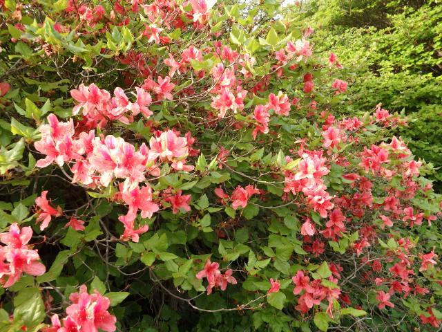僅かに残るオンツツジの花
