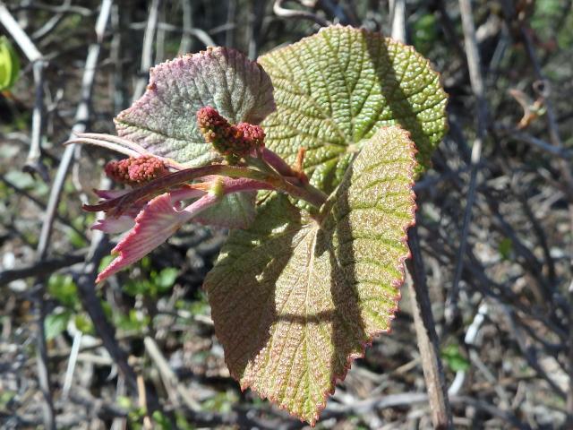 ヤマブドウの新芽