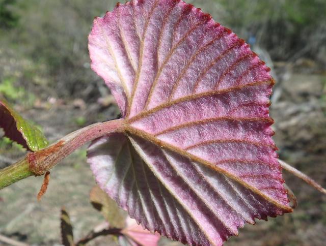 葉の裏面に毛が多い