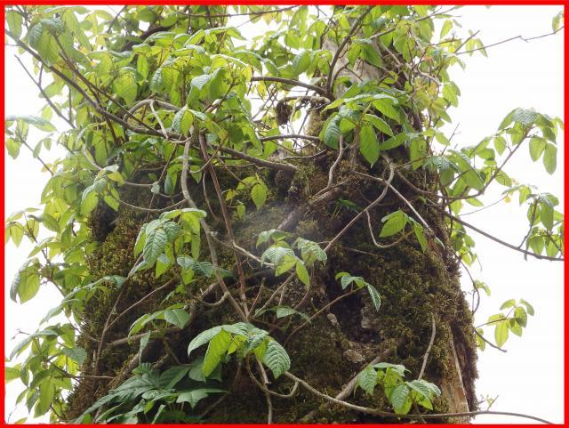 ツタウルシは気根を出して立ち枯れの幹などに登る