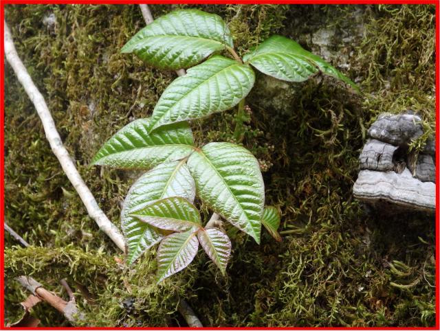 ツタウルシの葉は3小葉から成る