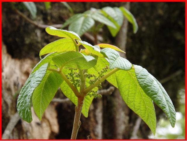 葉腋に小さな花を多数つける