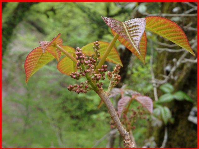 ツタウルシの若葉は赤っぽいことがある
