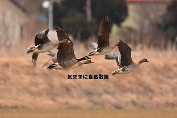 DSC_150301シジュウカラガン飛翔