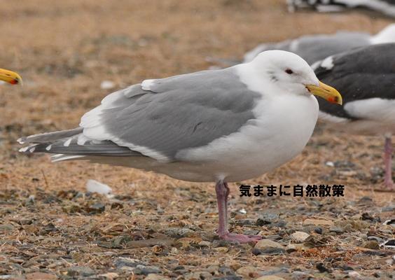 DSC_150301ワシカモメ