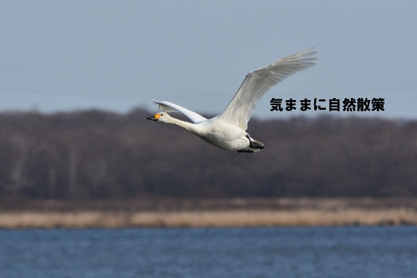150404コハクチョウ飛翔