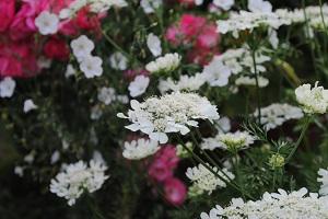 オルラヤの花