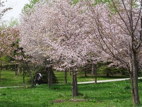 モエレの桜
