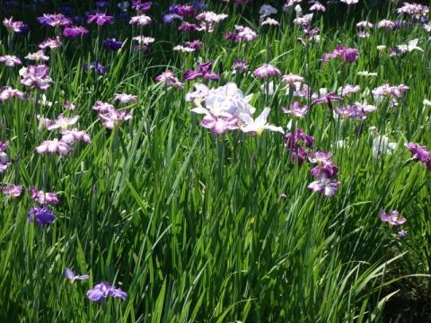 菖蒲の季節、そして紫陽花