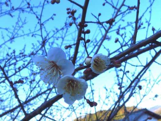 20150202 梅の花