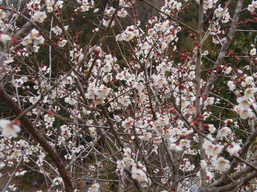 20150219 満開の小梅