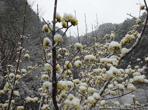 20150310 雪のサンシュユ