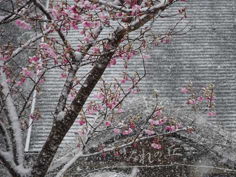 20150310 雪の河津桜