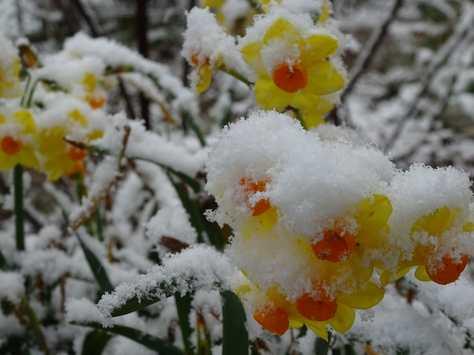 20150310 雪の水仙