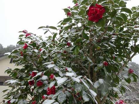 20150310 雪の椿
