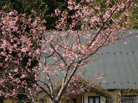 20150313 河津桜