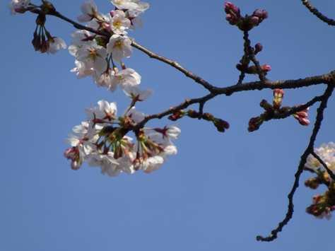 20150329 桜③