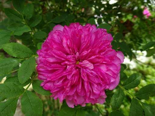 20150530 十六夜薔薇