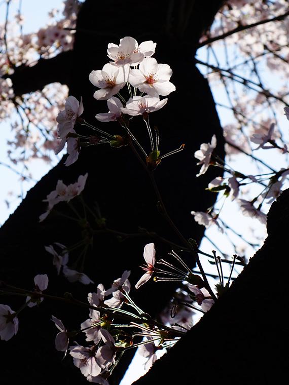 0330sakura1314.jpg