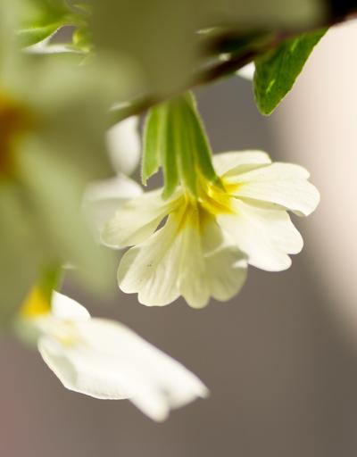 プリムラの花