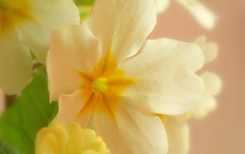 プリムラの花1