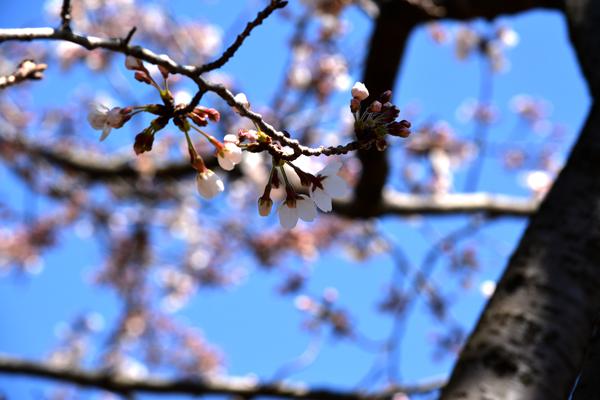 桜はまだですね。